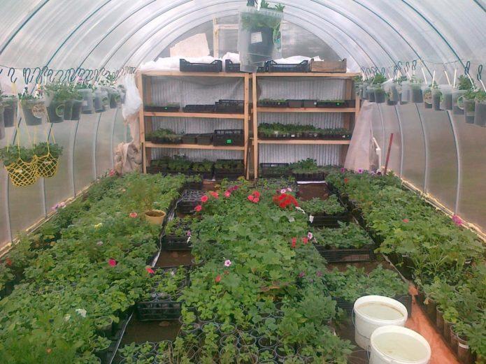 Выращивание рассады цветов в теплице