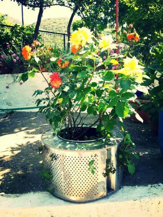 Выращивание роз в барабане от стиральной машины