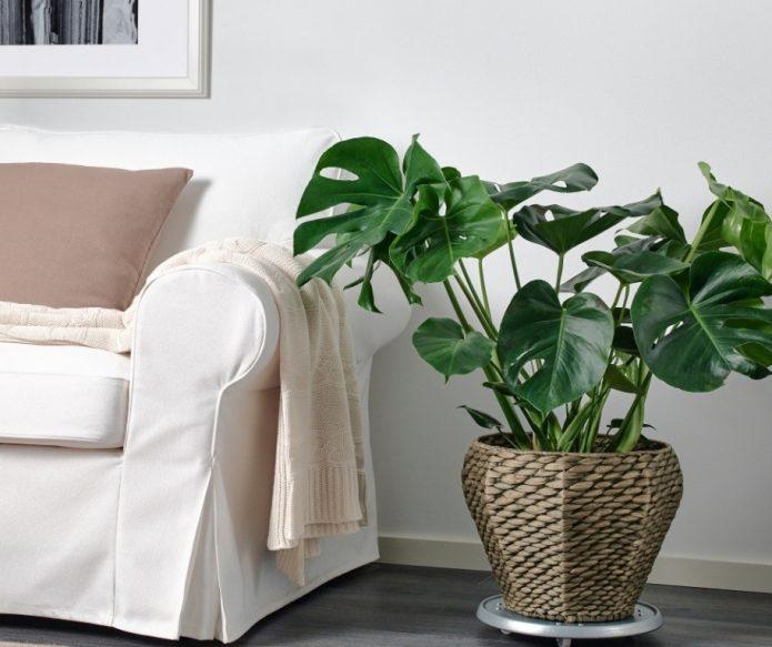 Комнатное растение в квартире
