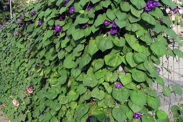 Забор из сетки с живой изгородью