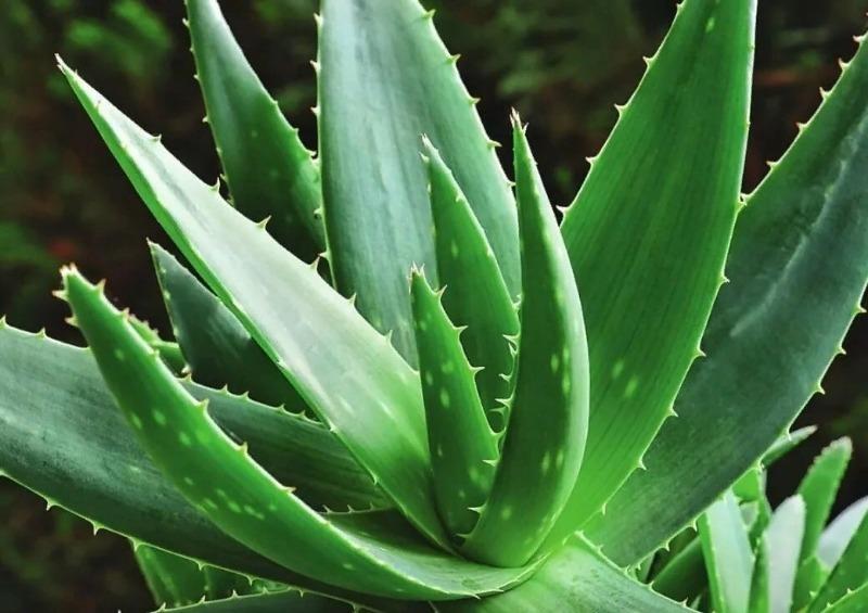 Чтобы легче дышалось в доме: 8 растений, которые очищают воздух и выделяют много кислорода